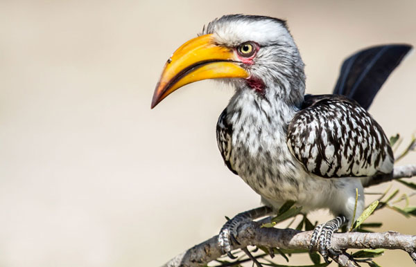 Hornbill named Zazu