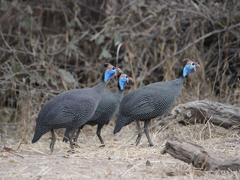 3. Guinea fowl are always on the go