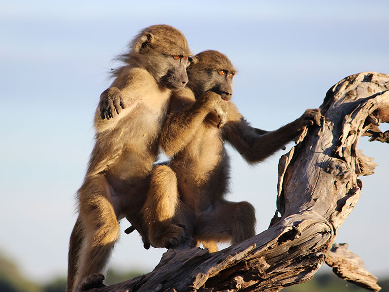4. Cheeky baboon babes