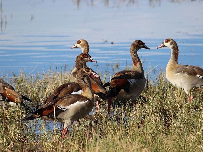 6. Colours of Egyptian Geese