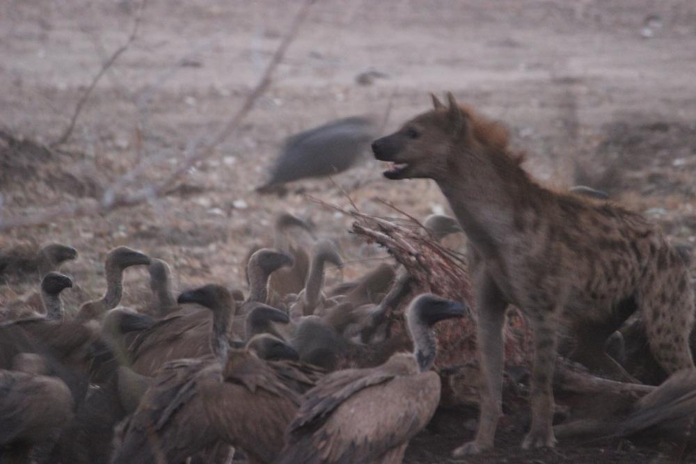 Masuwe Lodge - Hyena Vulture