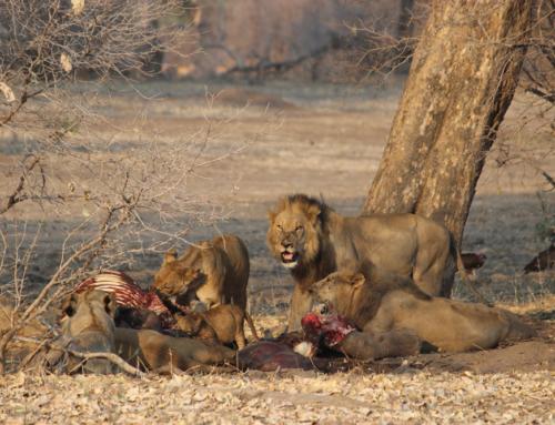 A Safari Story – Mana Pools