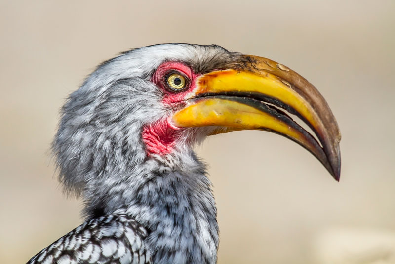 YellowBilledHornbill_PS