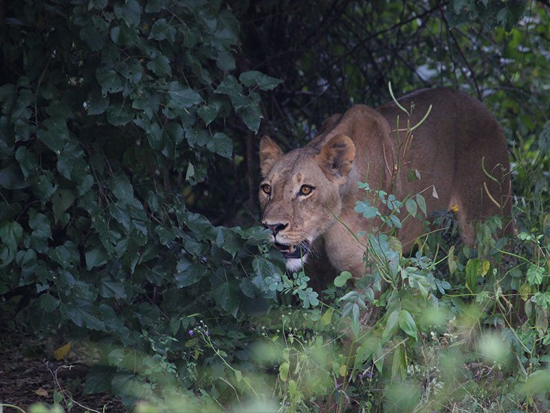 11. Lioness on the prowl