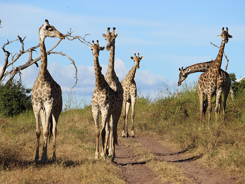 7. A journey of giraffe