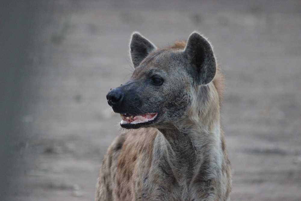 Masuwe Lodge - Hyena portrait