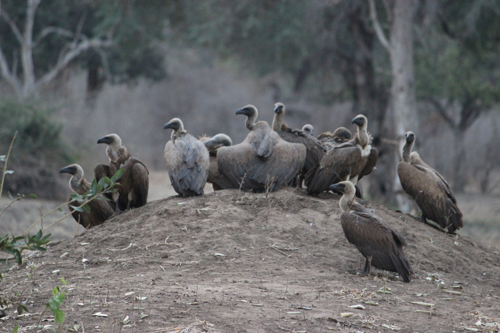Masuwe Lodge - vultures waiting